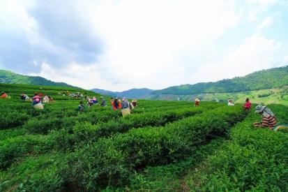 メーサロンの茶摘み風景。茶畑の中、村人たちのカラフルな衣装が映える。