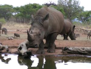 Anns Rhino