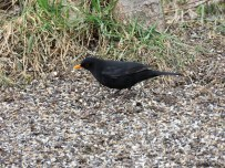 Koltrast hane / Blackbird male