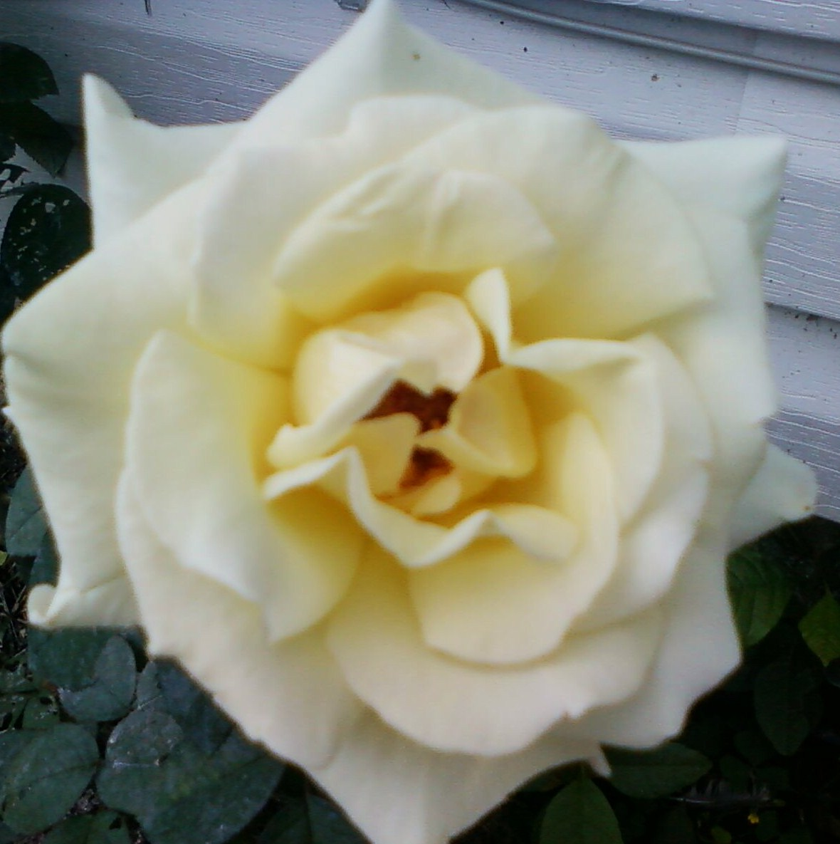 From My Rose Garden