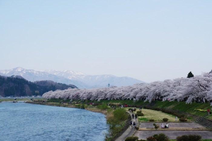 [2015櫻花] 秋田 角館 武家屋敷 檜木內川堤