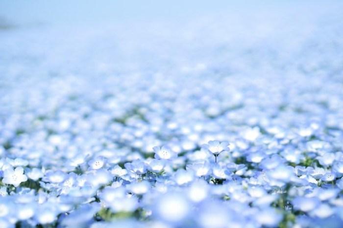 [茨城] 國營常陸海濱公園 死前必看絕景之一 夢幻粉蝶花
