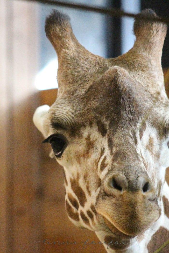 Giraffes at the Detroit Zoo
