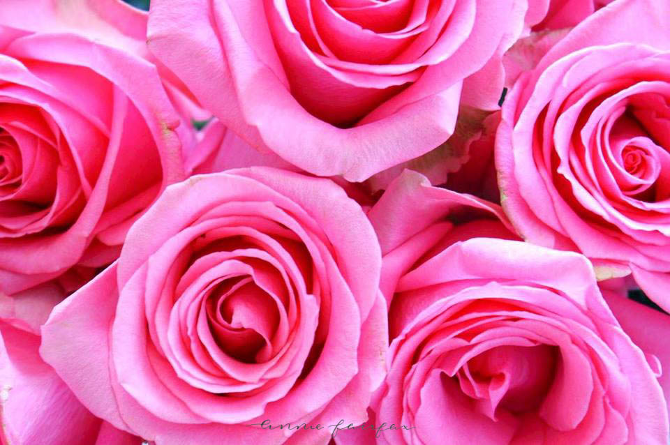 Pink Roses by Annie Fairfax Grand Hotel