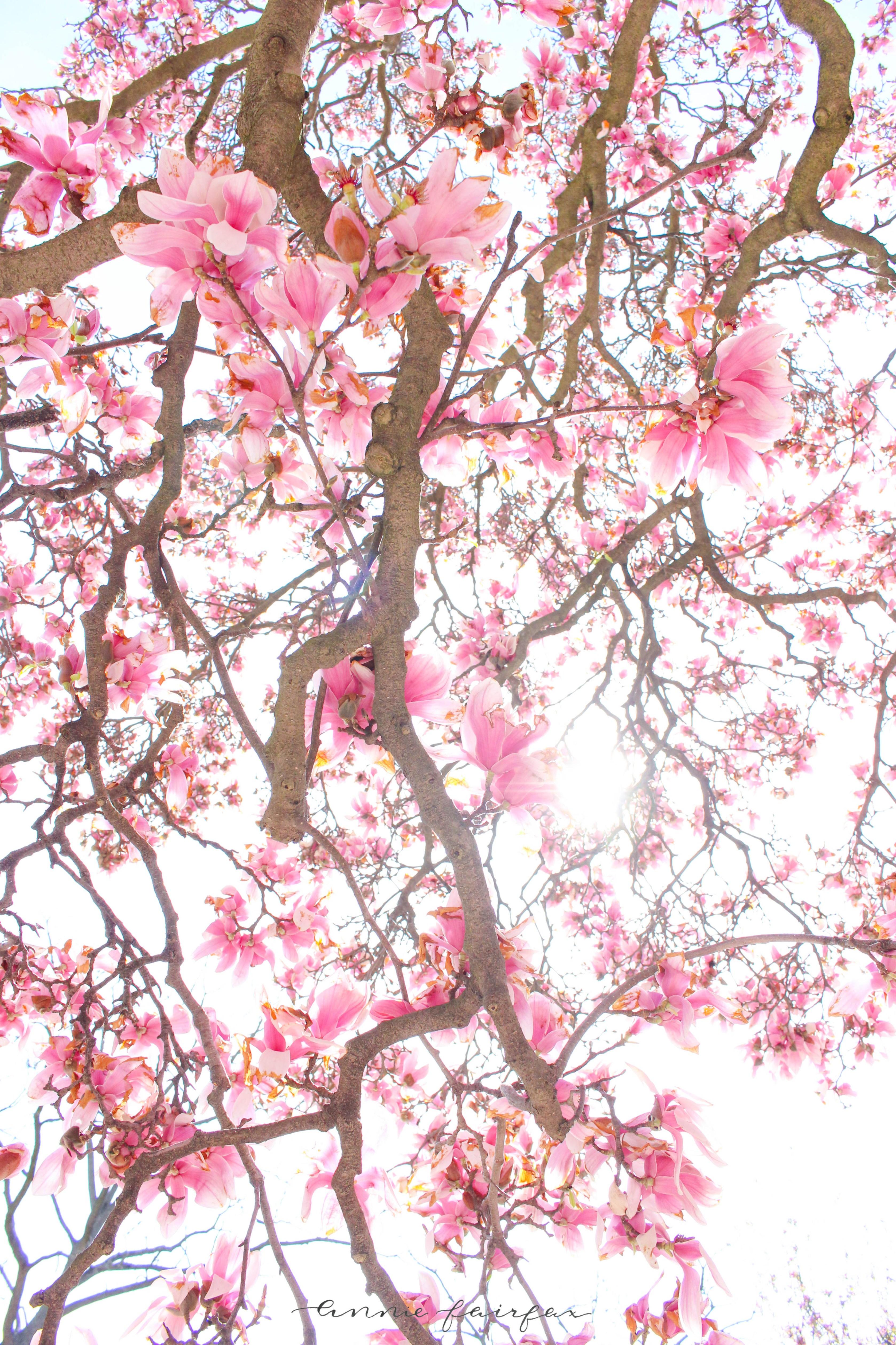 Magnolia Blossoms by Annie Fairfax