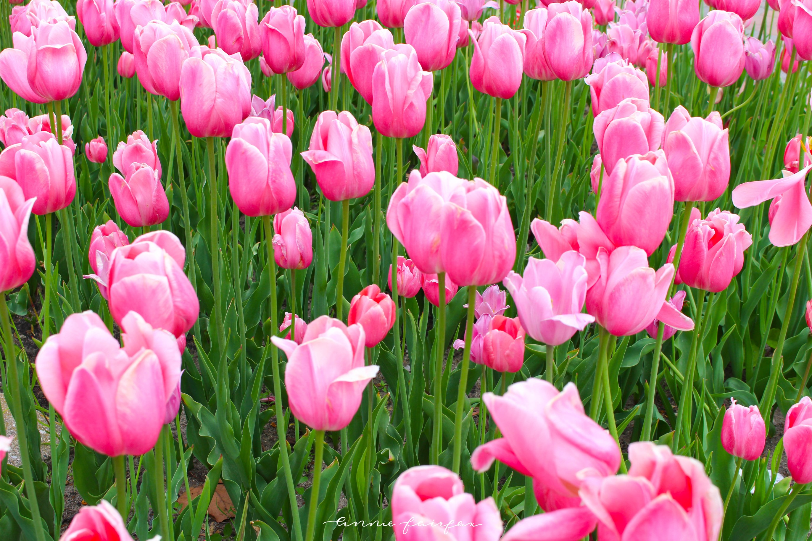 Pink Tulips at Tulip Time Festival in Holland, MI