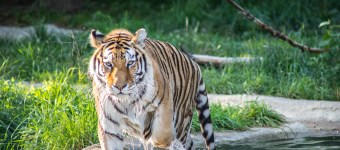 New Wildlife Photographs: Tiger