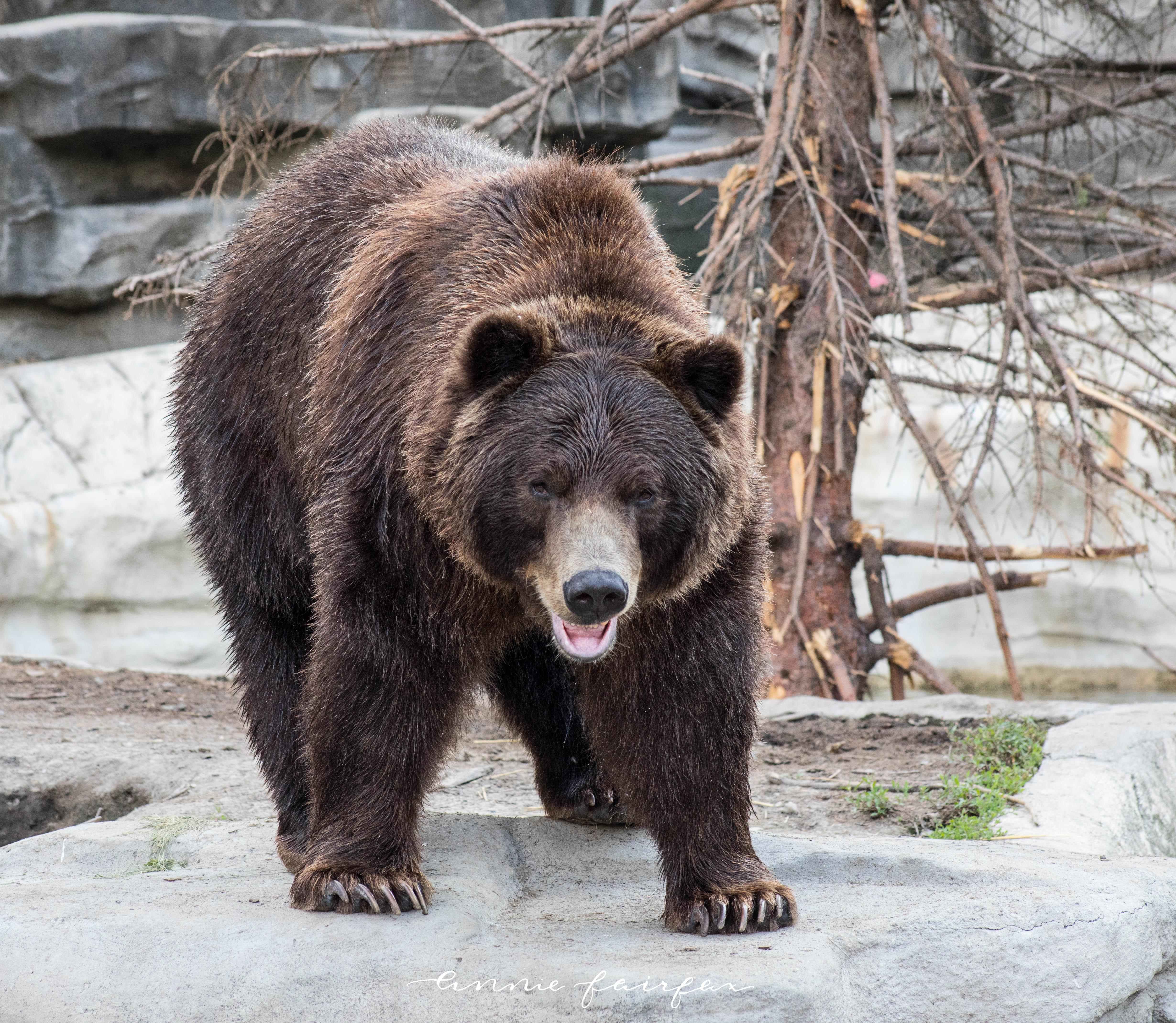 Alaskan Brown Bear Photographed by Annie Fairfax Via AnnieWearsIt
