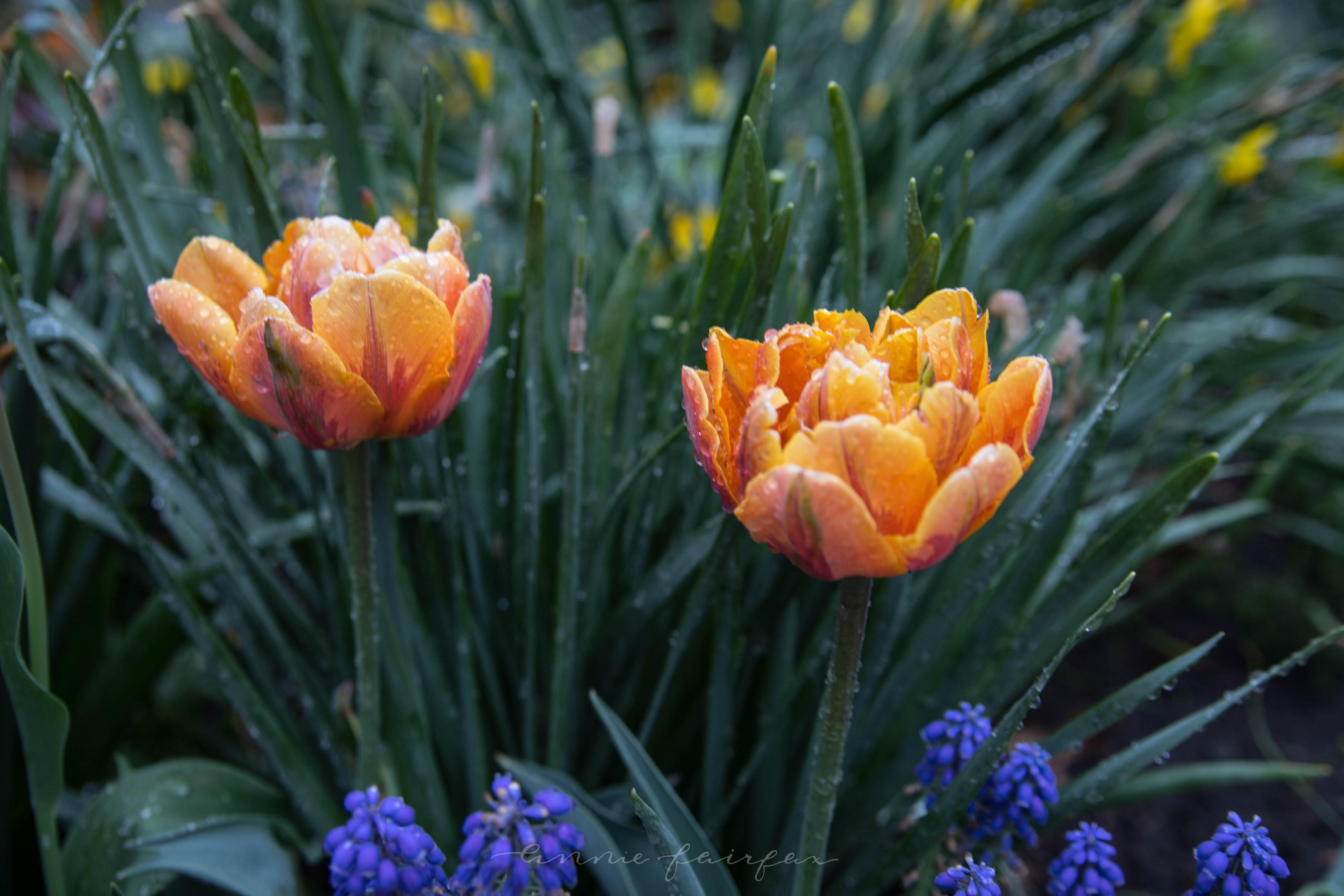 Explore Tulips During Tulip Time Festival in Holland Flowers
