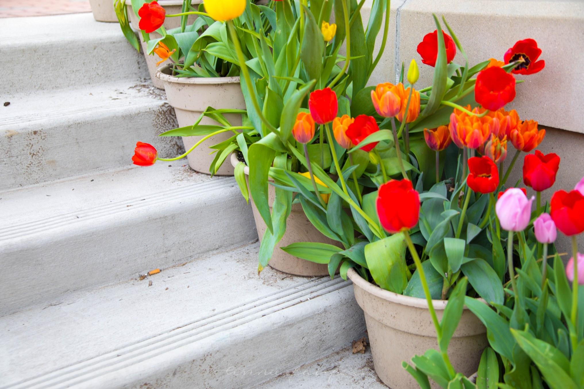 The Complete Guide to Holland's Tulip Time Festival