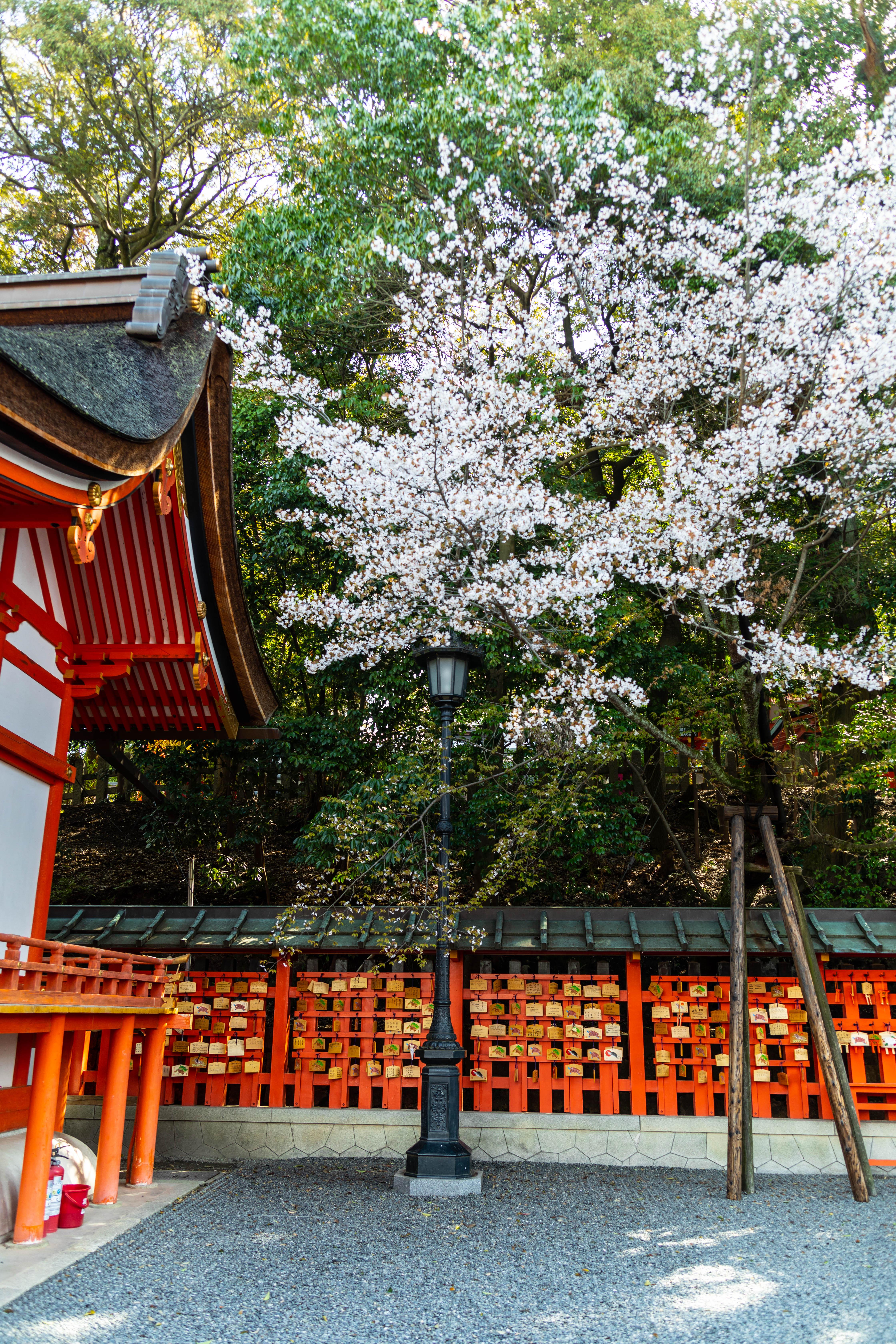 Cherry Blossoms in Kyoto's Fushimi Inari Shrine by Annie Fairfax