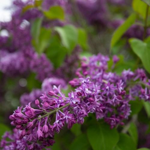 Lilac Festival on Mackinac Island, Michigan