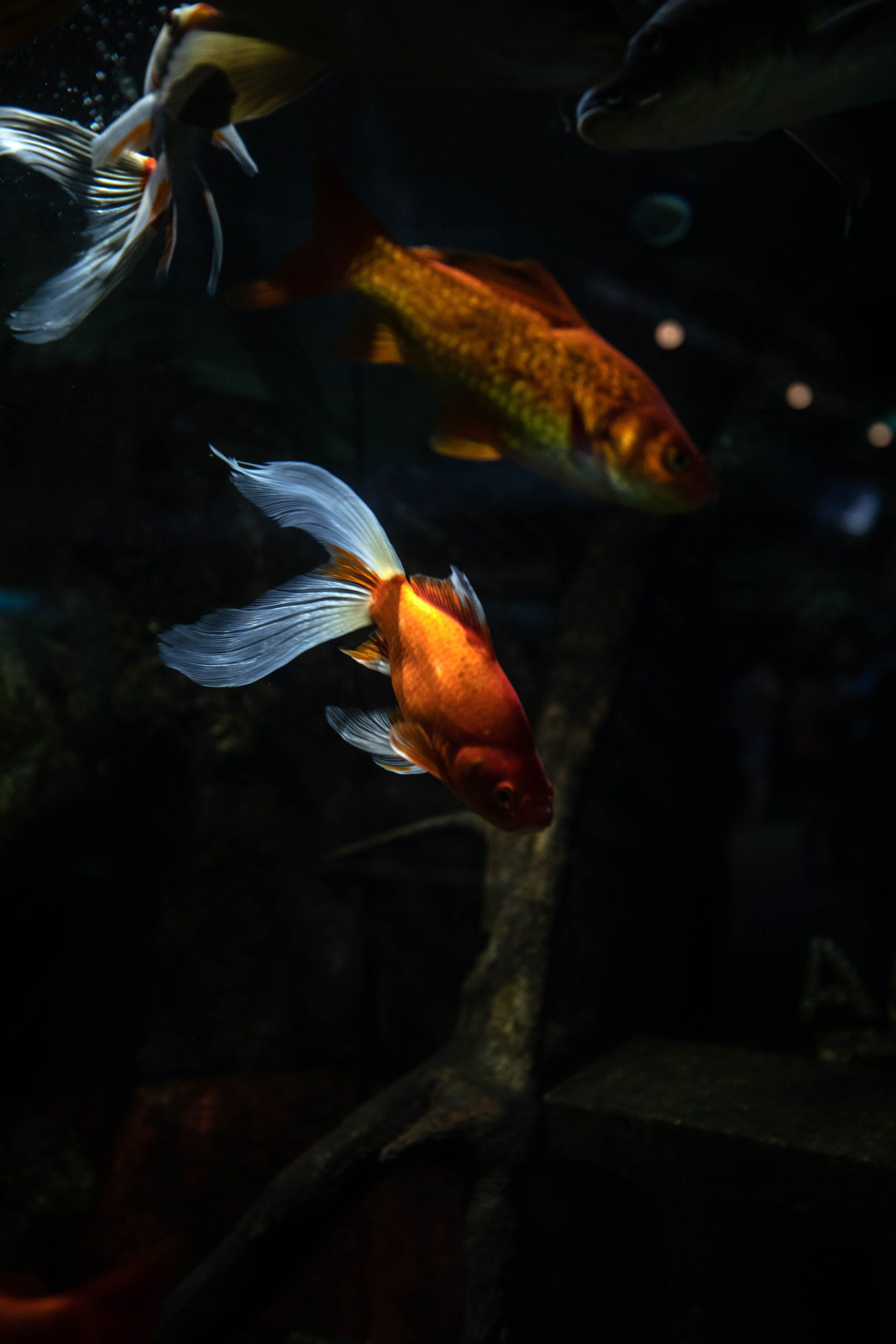 Goldfish at Belle Isle Aquarium in Detroit Michigan by Annie Fairfax