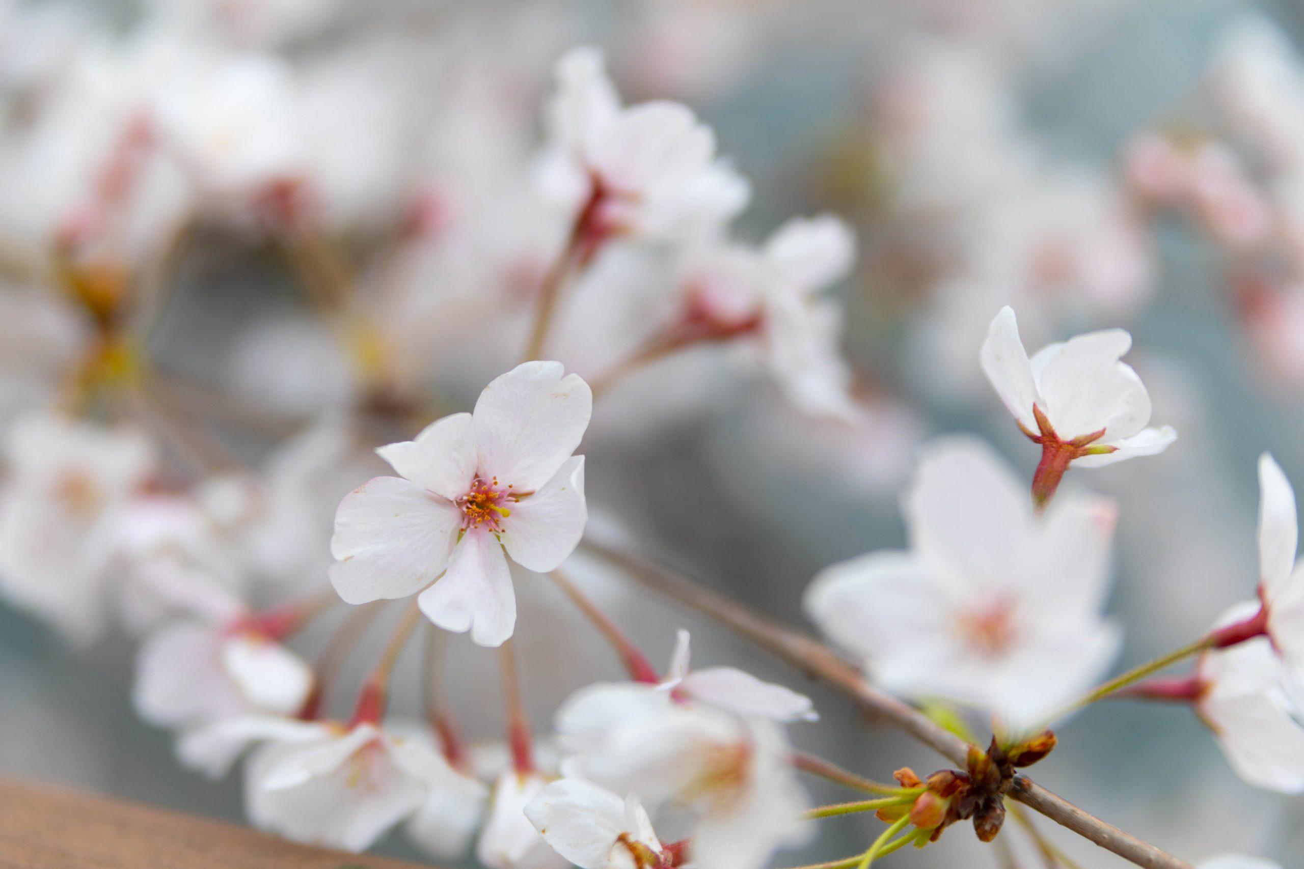 Osaka Cherry Blossom Festival Osaka Japan Travel Guide