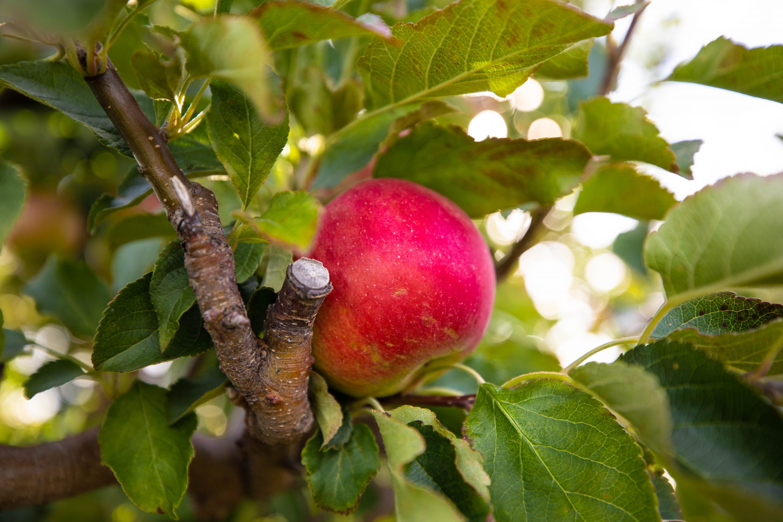 Almar's Organic Apple Orchard Farm Our Apple Orchard Harvest Apple Picking in Fall in Michigan Midwest Fall Itinerary by Annie Fairfax