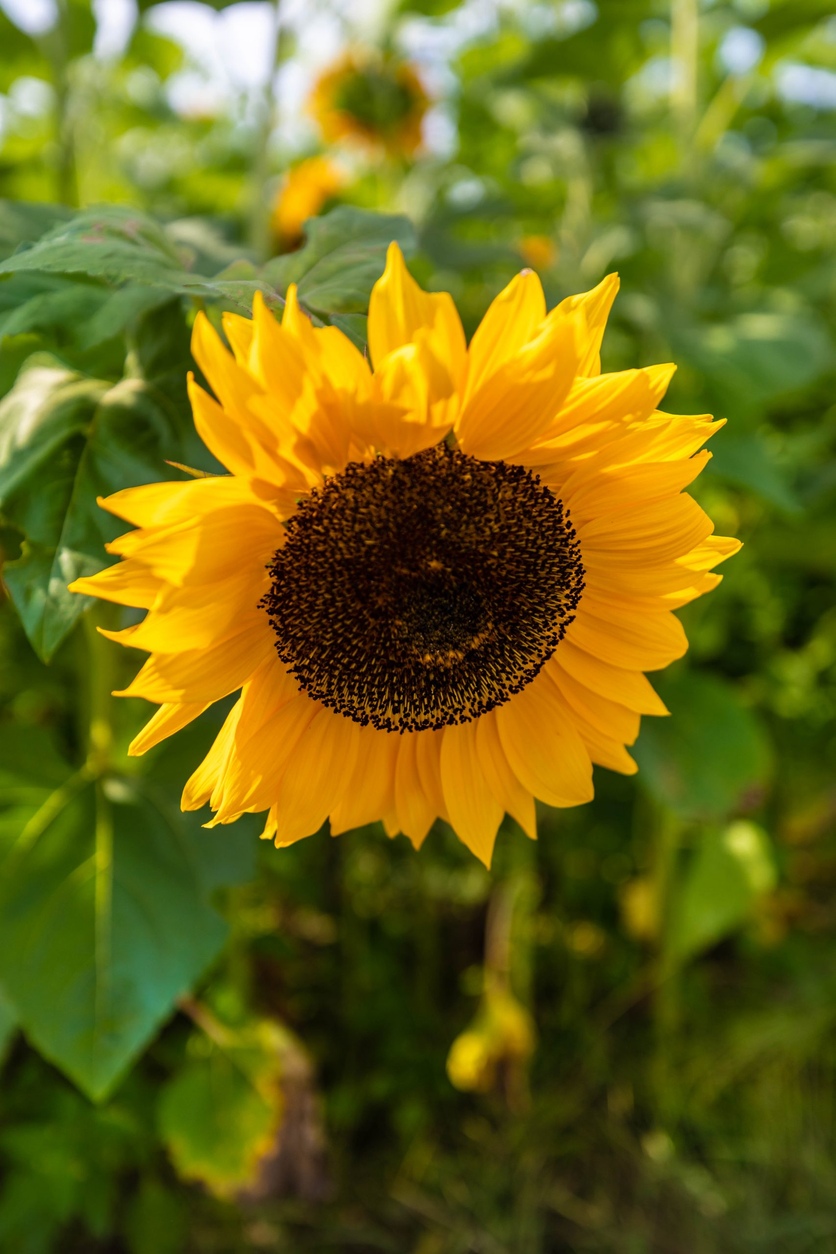 Sunflowers at Almar's Organic Apple Orchard Farm Our Apple Orchard Harvest Apple Picking in Fall in Michigan Midwest Fall Itinerary by Annie Fairfax
