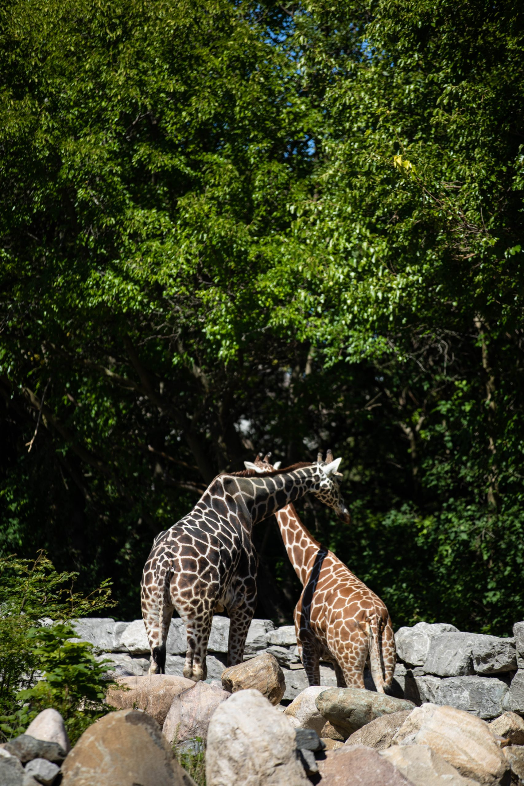 Giraffes at the Detroit Zoo in Royal Oak Michigan by Annie Fairfax