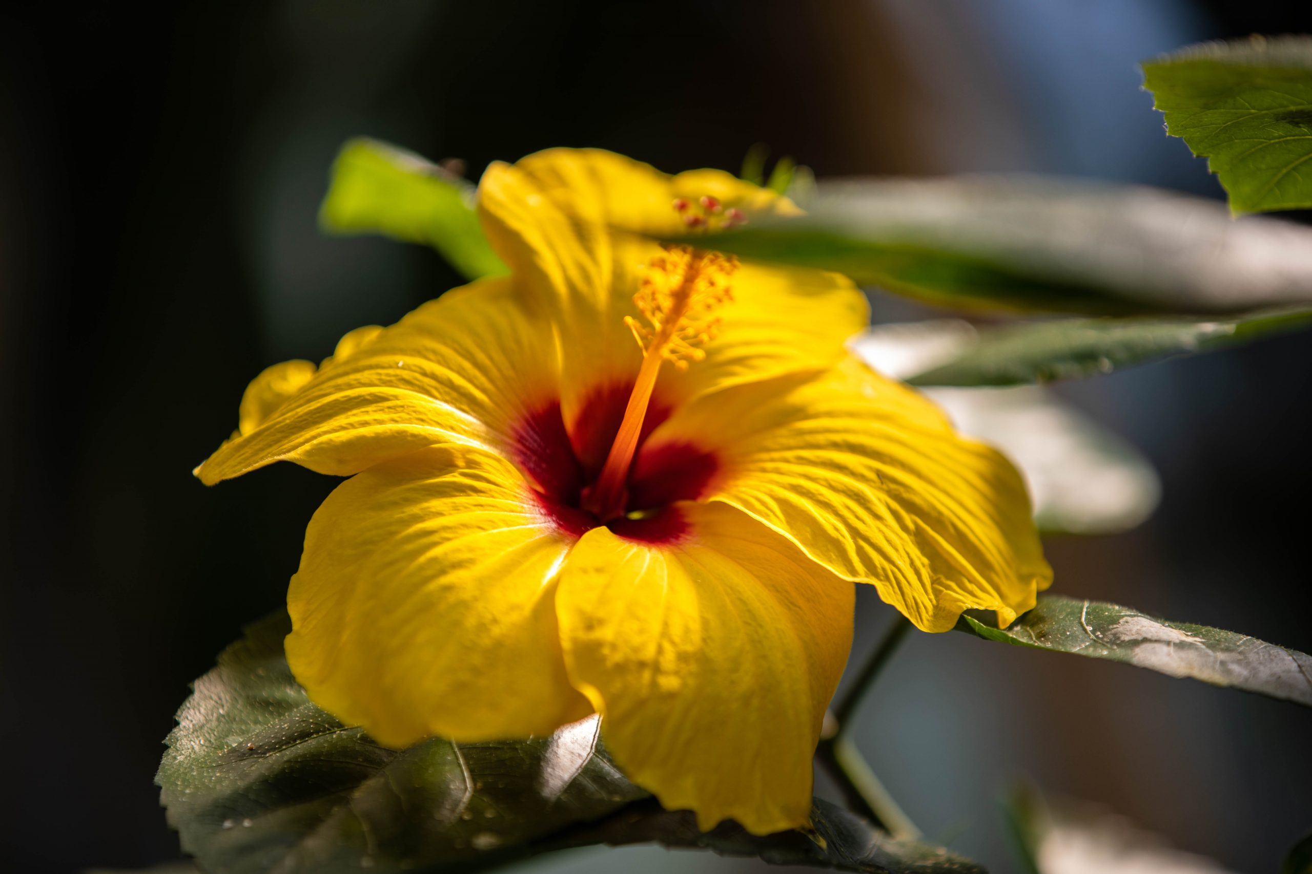 Stunning Yellow Hibiscus at the Detroit Zoo's Matilda R. Wilson Free-Flight Aviary Photographed by Annie Fairfax for AnnieFairfax.com
