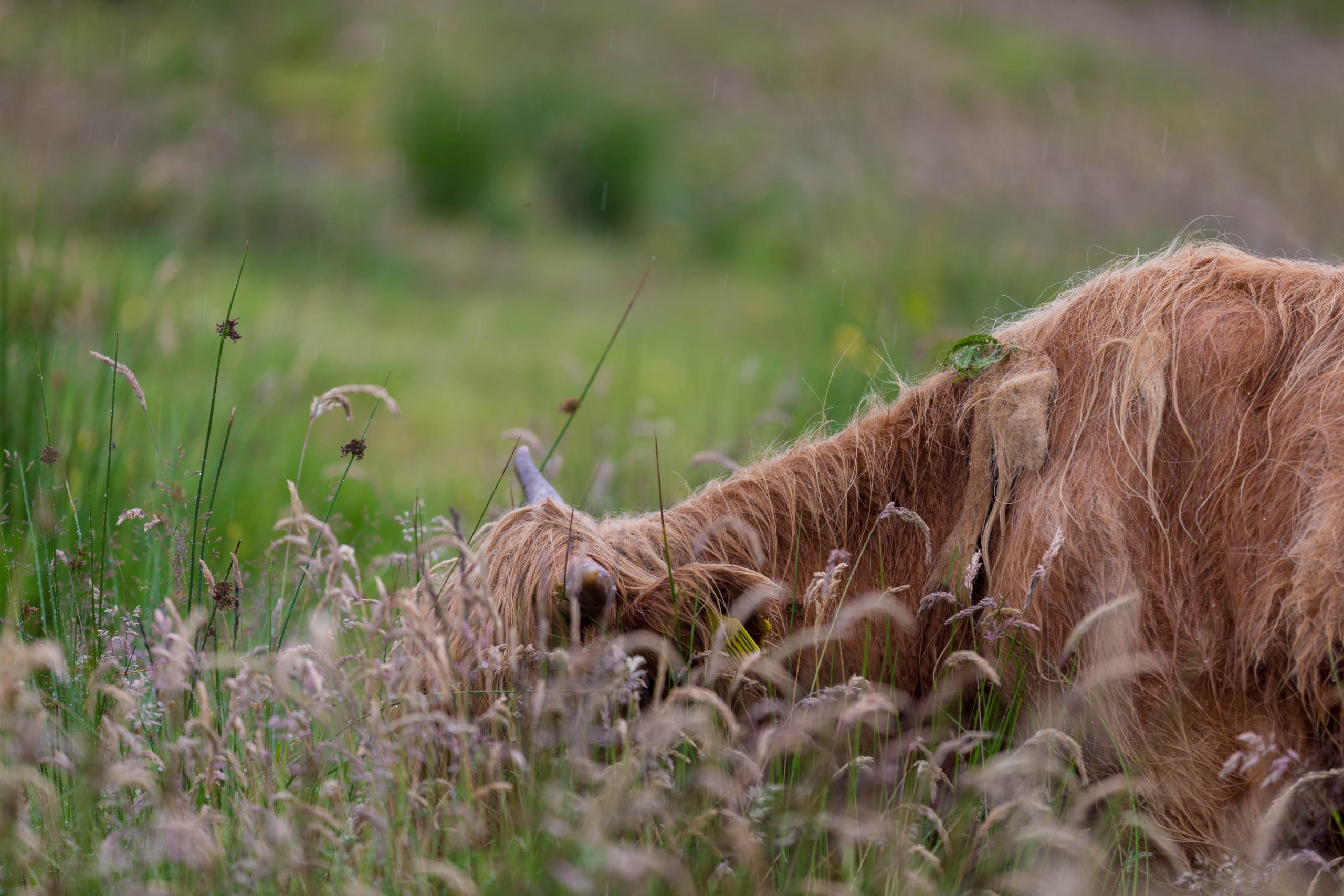 Hector's Highland Coos on the Isle of Skye 10 Day United Kingdom Scotland and England Itinerary Things to Do on the Isle of Skye by Annie Fairfax