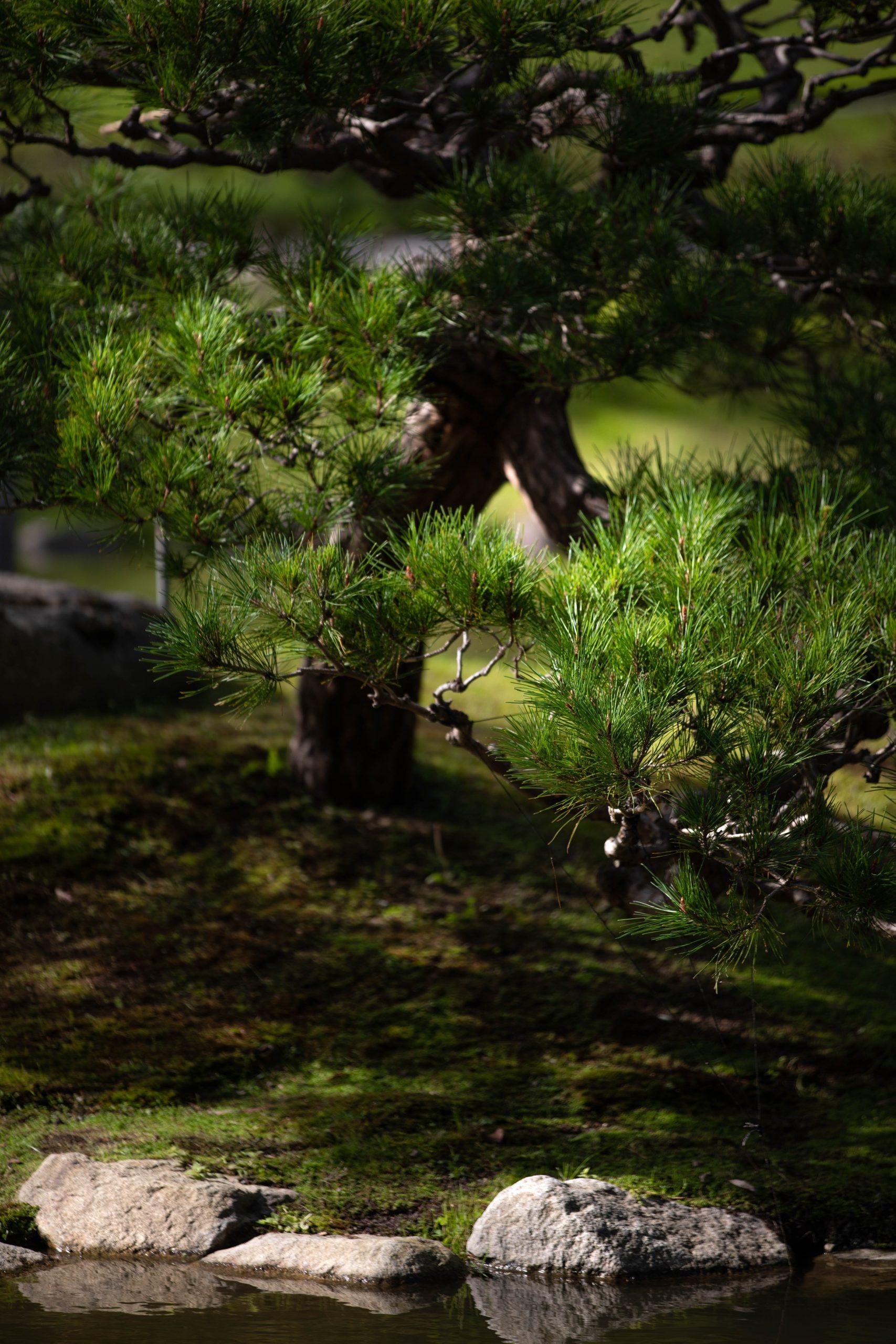 Pine Tree at Seattle Japanese Garden in Washington Pacific Northwest by Annie Fairfax