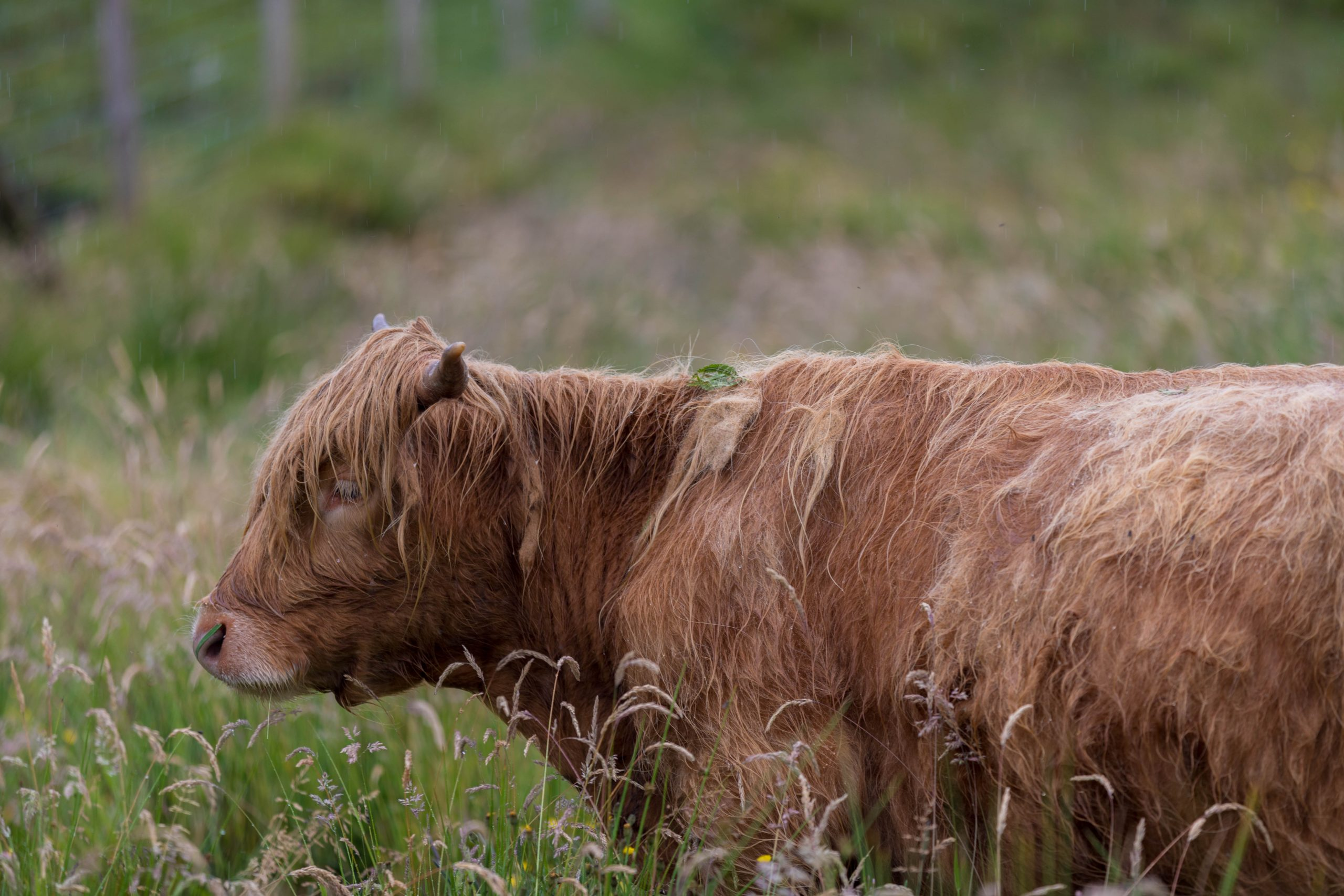 Hector's Highland Coos Cows in Sconser, Isle of Skye, Scotland by Annie Fairfax