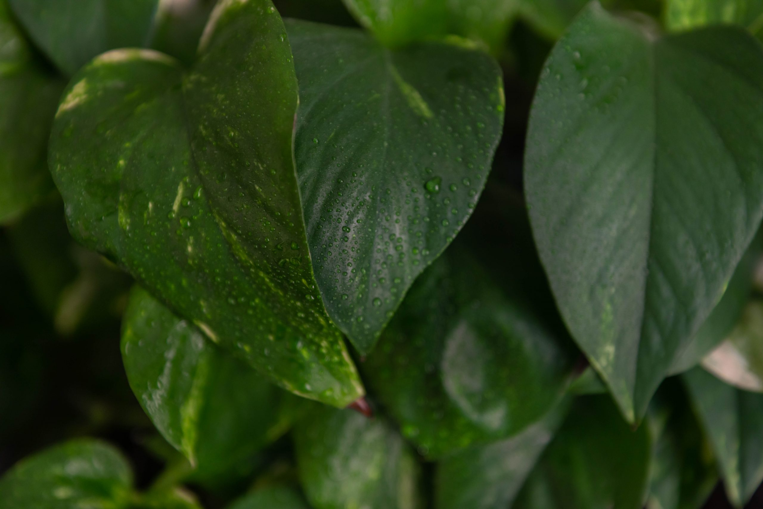Pothos Houseplant Care Tips and Advice on How to Take Care of a Devil's Ivy Plant by Annie Fairfax