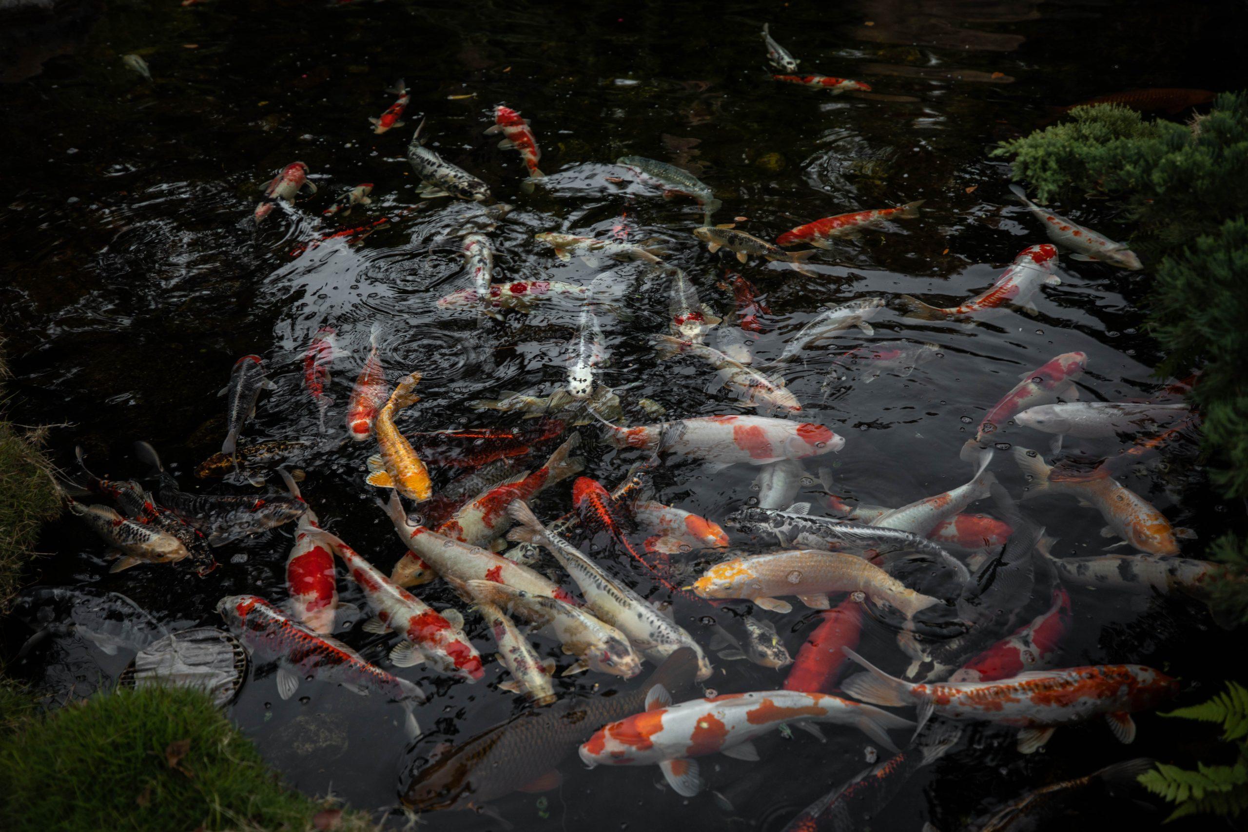 Koi Pond Japan Epcot Walt Disney World by Luxury Travel Writer and Photographer Annie Fairfax