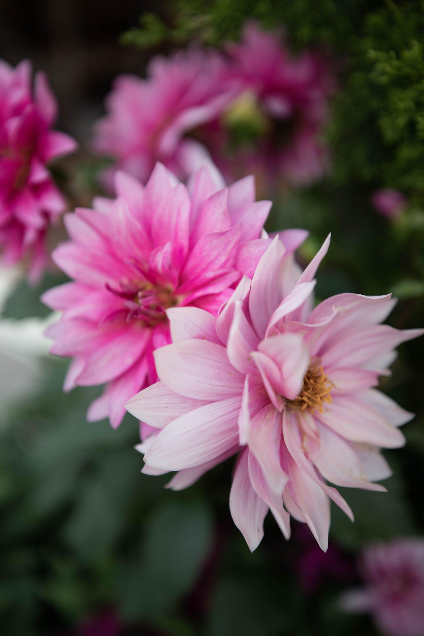 Pink Dahlias at Epcot World Showcase Epcot International Flower & Garden Festival by Annie Fairfax