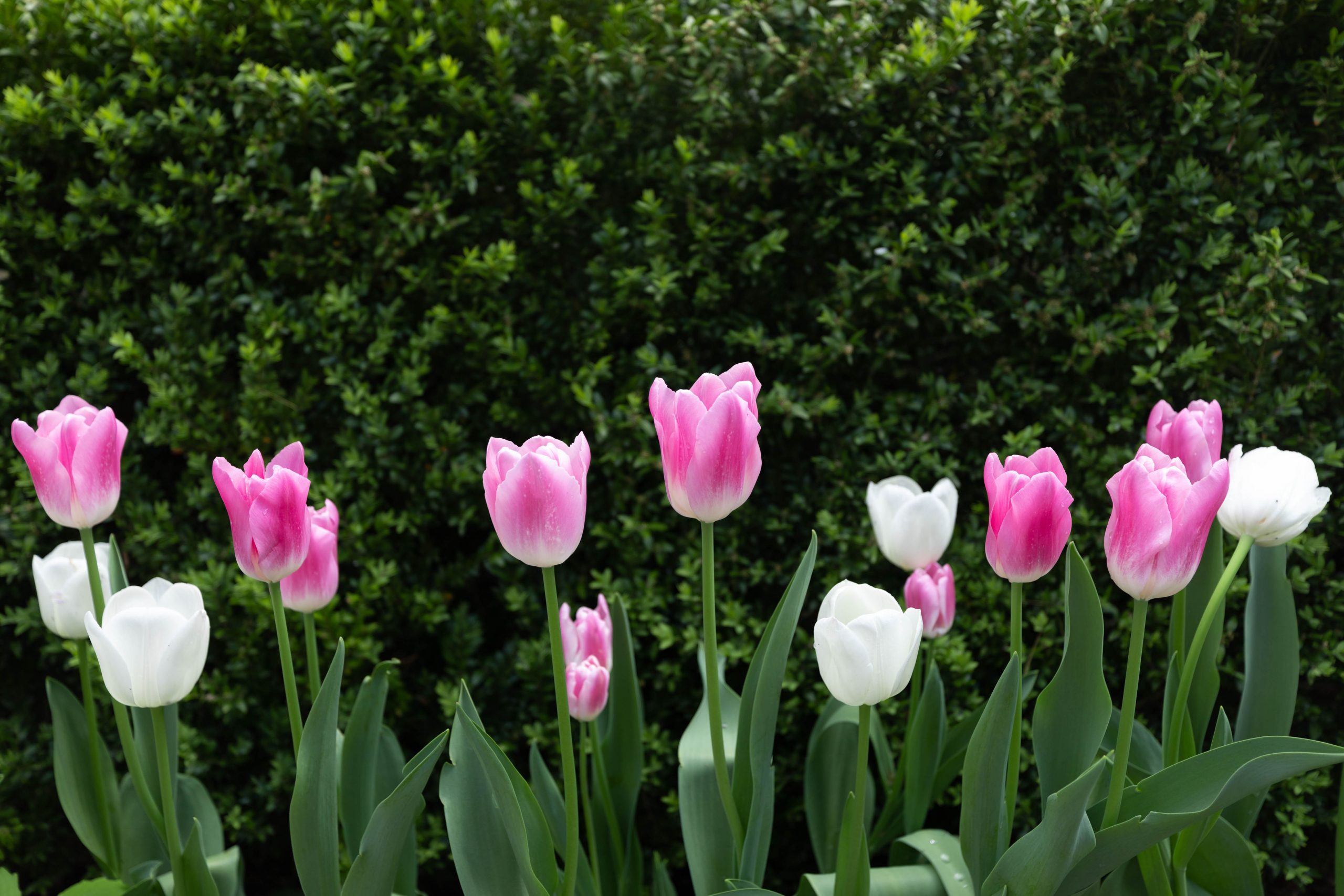Tulips at Hillwood Estate, Museum & Gardens in Washington, D.C. by Luxury Travel Writer and Photographer Annie Fairfax