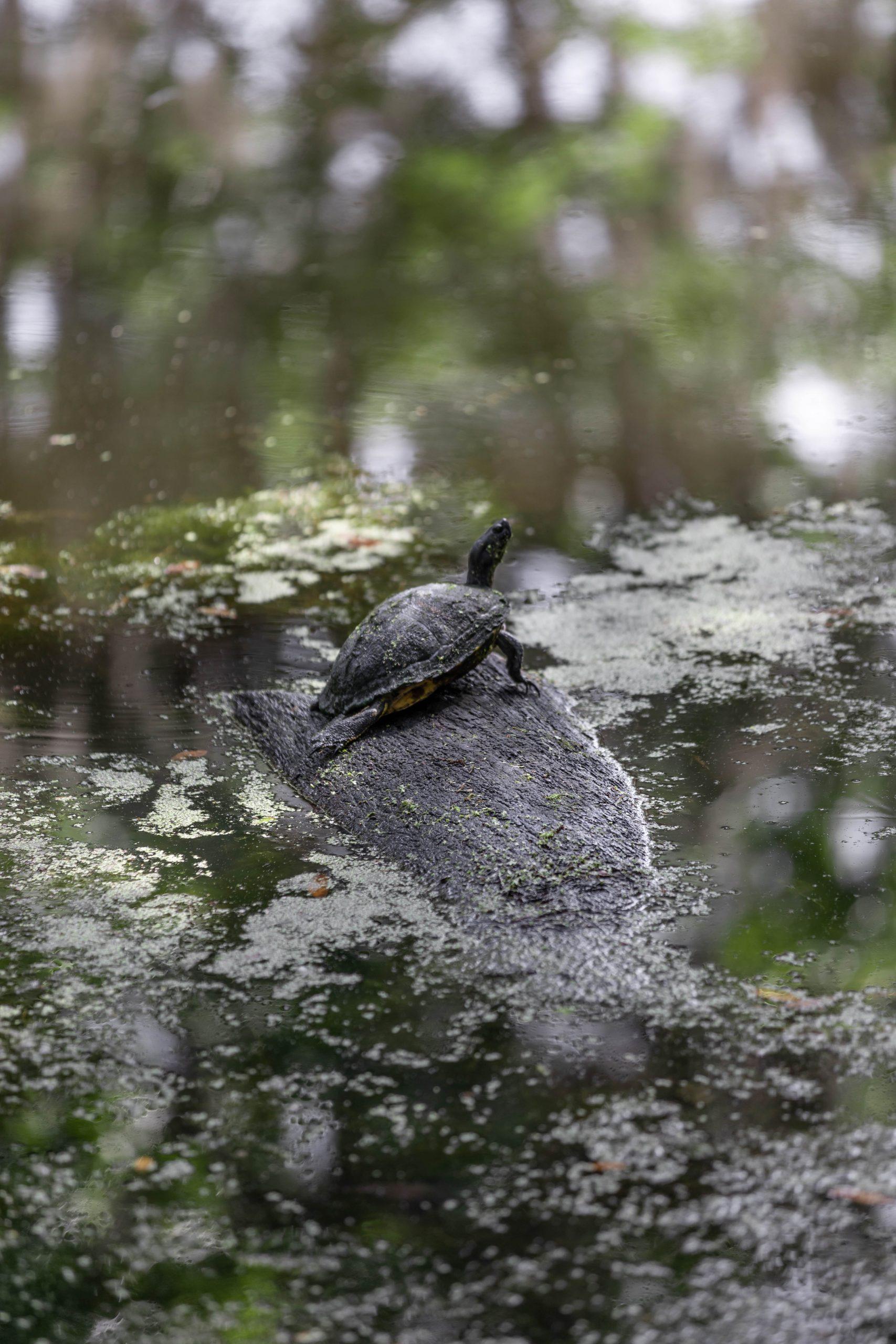 Turtle on Log at Magnolia Plantation & Gardens in Charleston South Carolina Written & Photographed by Annie Fairfax