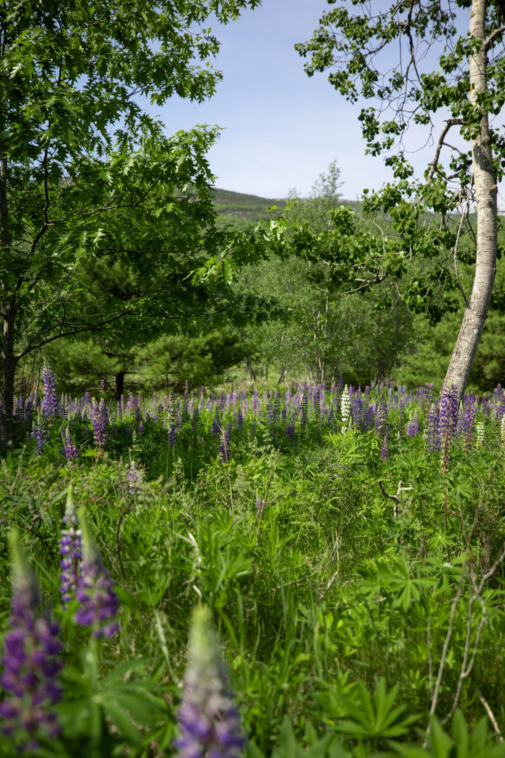 Fields of Purple Lupine in Meadow in in Acadia National Park Mount Desert Island near Bar Harbor Maine Written and Photographed by Luxury Travel Writer Annie Fairfax
