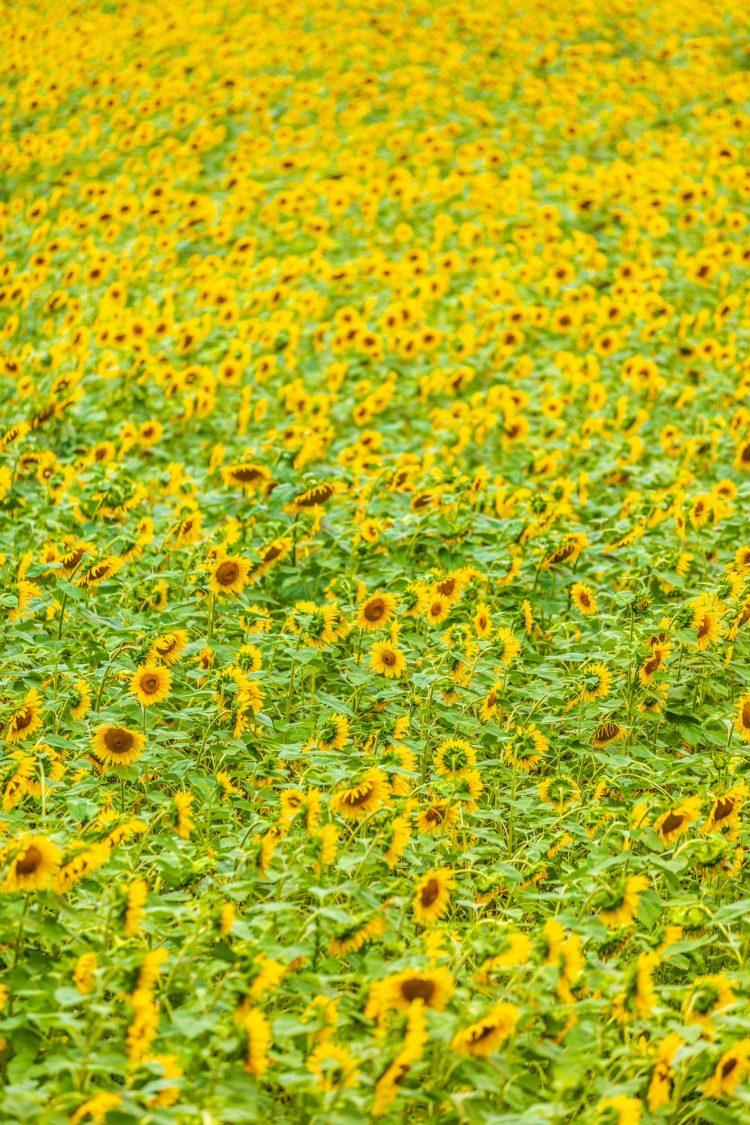Buttonwood Farm & Sunflower Gardens