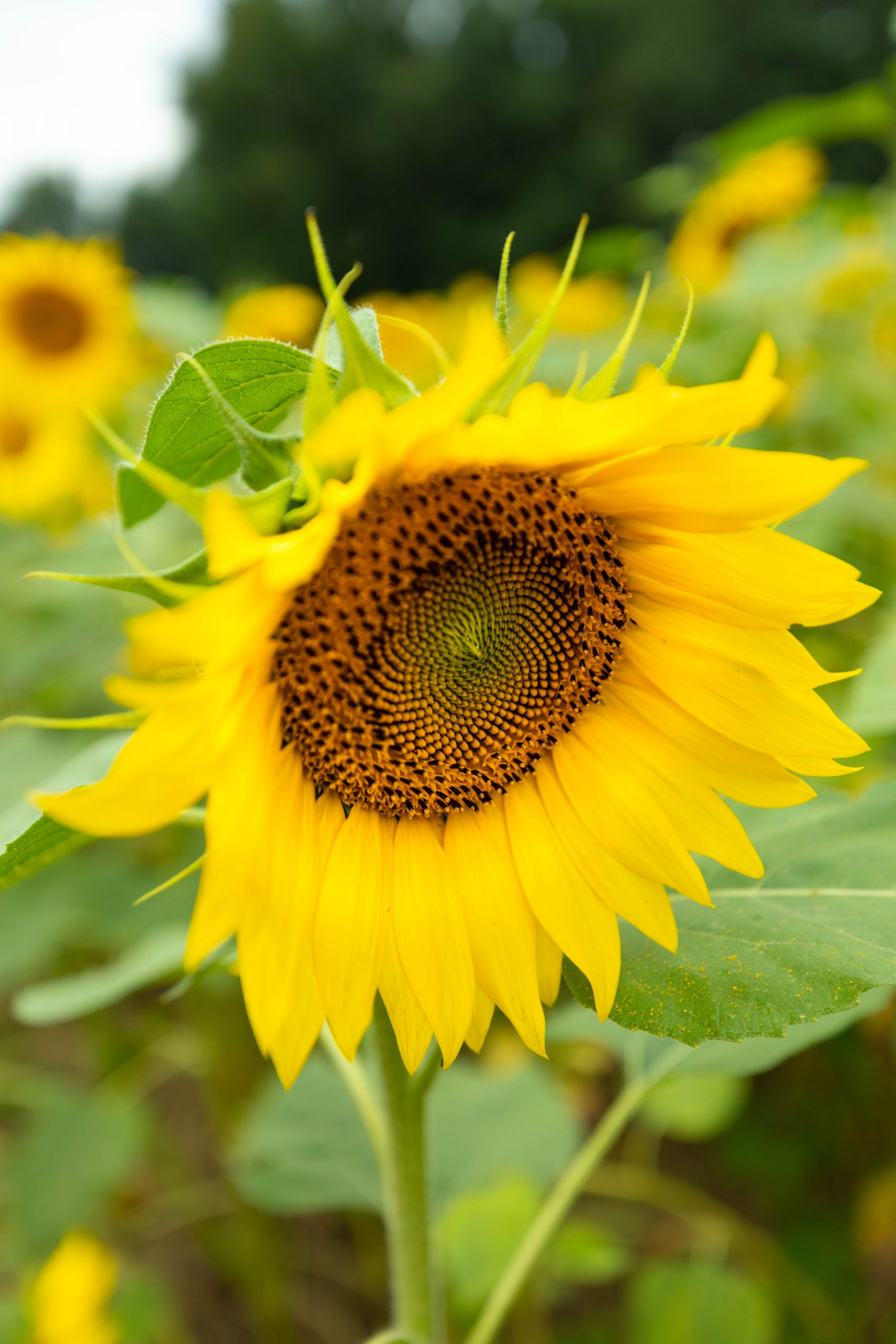 Buttonwood Farms Sunflower Fields Garden in Griswold Connecticut by Annie Fairfax
