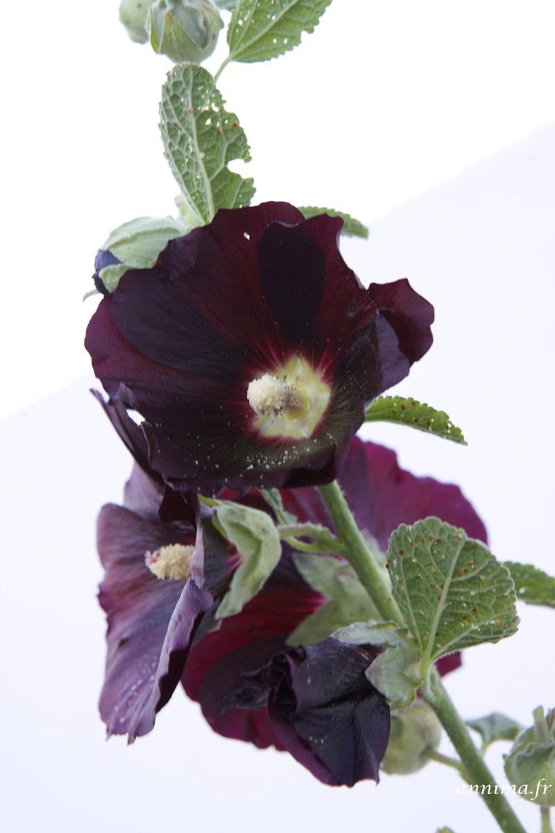 roses-tremieres-Ré1