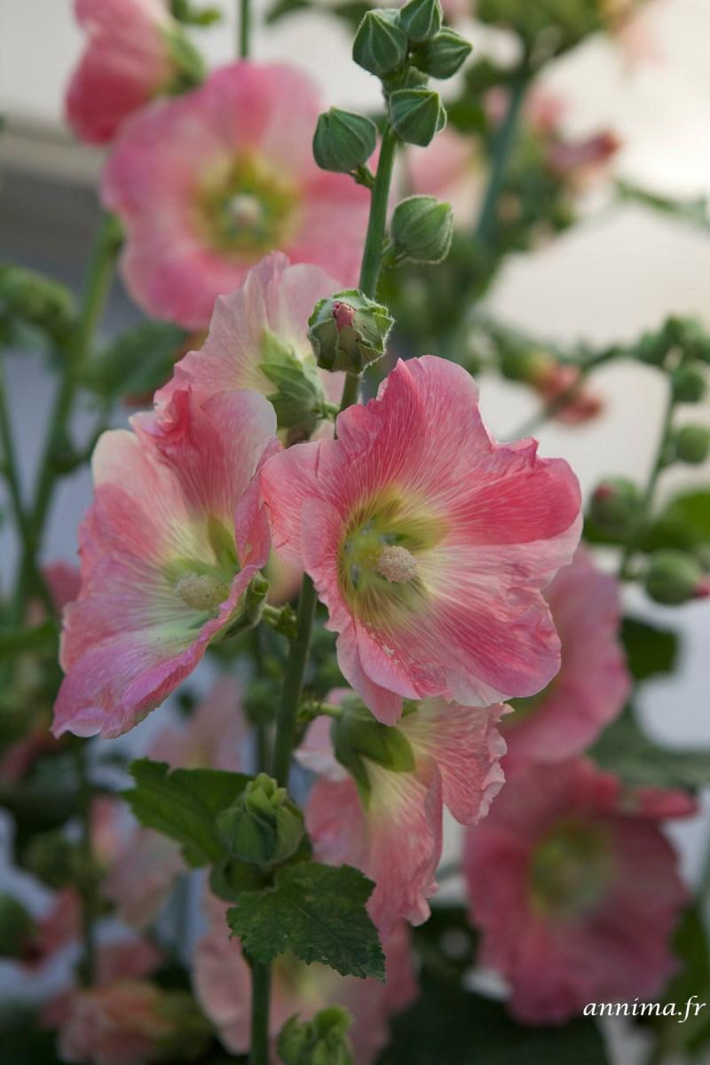 roses-tremieres-Ré7