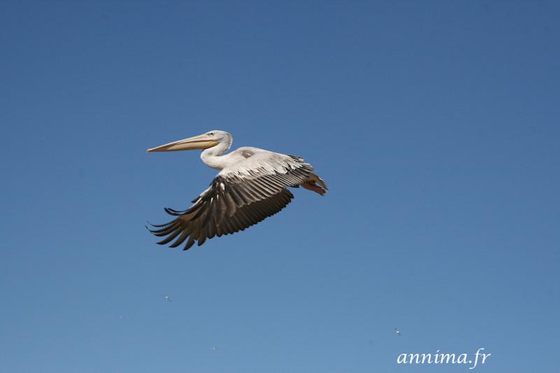 Ornithologie : les flamants de Sigean #EnFranceAussi