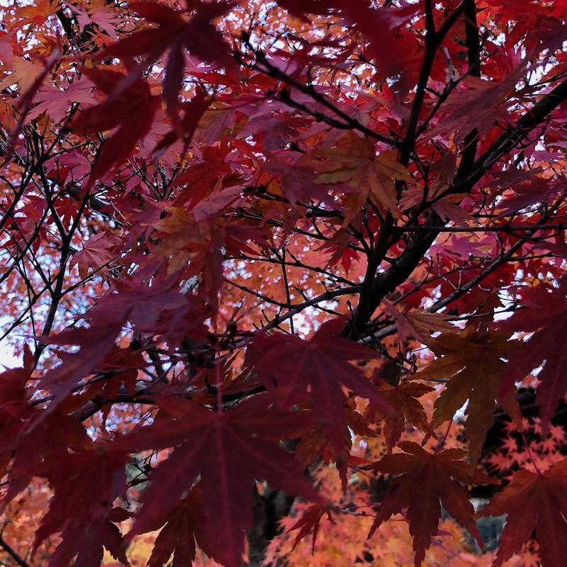feuilles érable