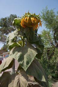 The sunflowers look like we feel