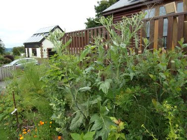 cardoon amidst other plants