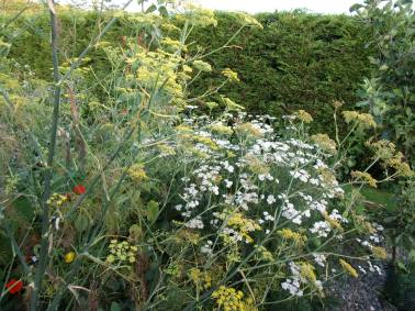 fennel and yarrow edge of polyculture 2