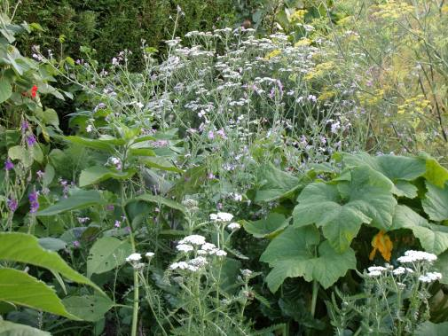 courgette, Jerusalem artichoke, fennel and flowers in polyculture 2