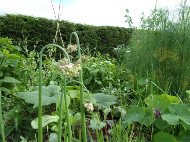 Garlic chives, nasturtium, fennel and more polyculture 3, July 2016