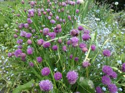 Chives with bees if you look closely