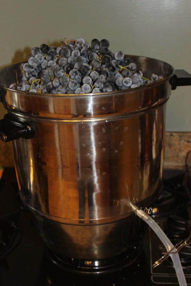 Grape harvest in Orem (2)