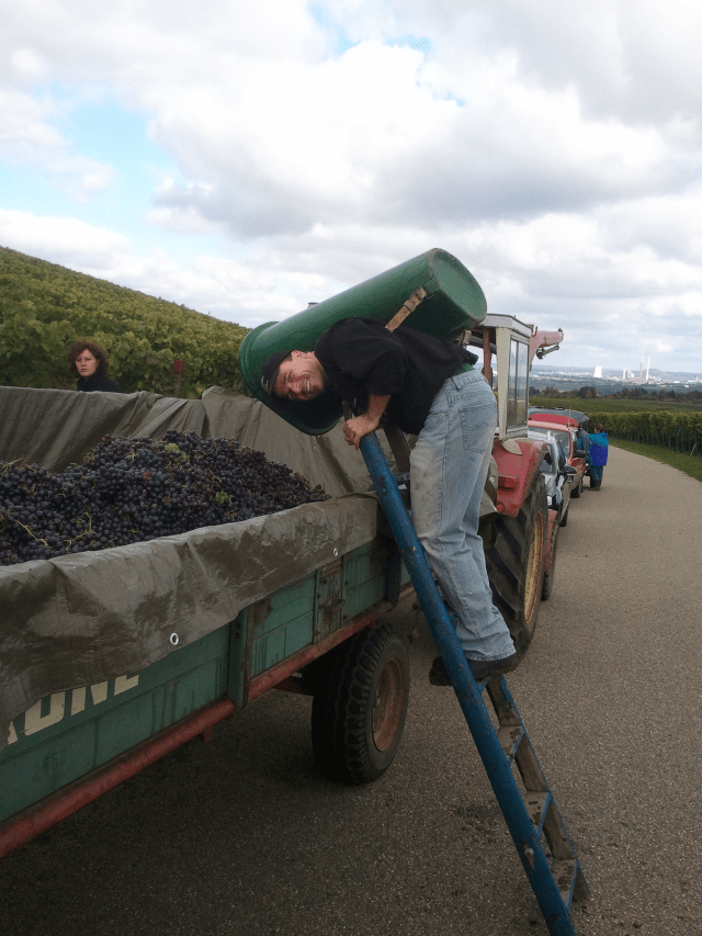 Laemmlen grape harvest 2012.1