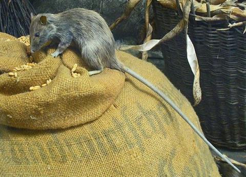 Long-tailed rat