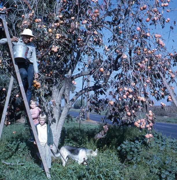 Persimmon Tree Road 52