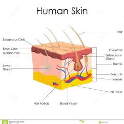 Human Skin Diagram Unlabeled Trailer Wiring 7 Pin 6 15 16 Judging The Cover How Changes With Age
