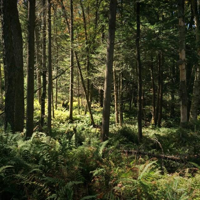 adirondack forest
