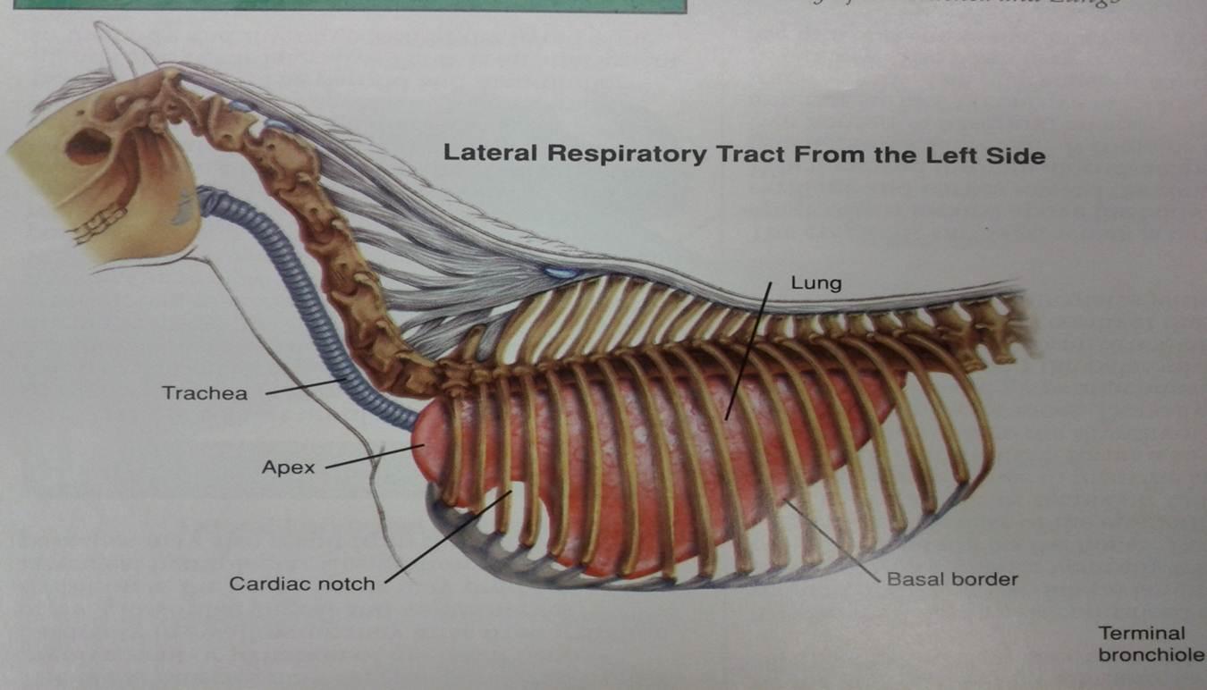 horse respiratory system diagram 2008 kawasaki brute force 750 wiring the chronic coughing anoka equine blog